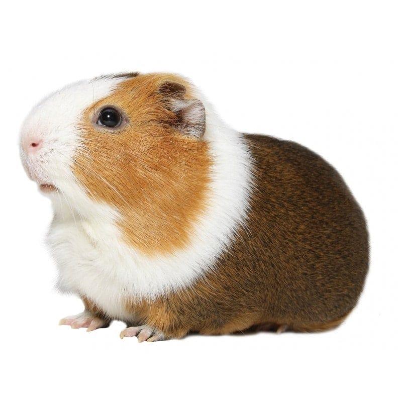 Lilly Birba Guinea Pigs